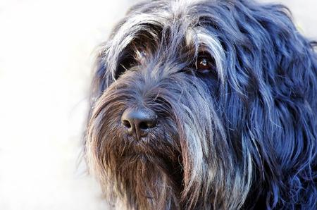 sheepdog: Face of portuguese sheepdog