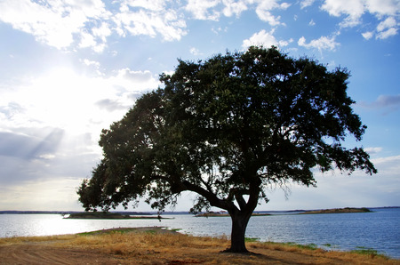 weir: Oak tree near Alqueva lake Stock Photo