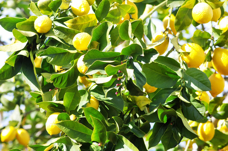 lemon tree: ripe lemons on lemon tree