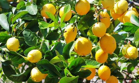 Ripe lemons on the tree
