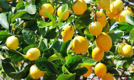 Ripe lemons on the tree
