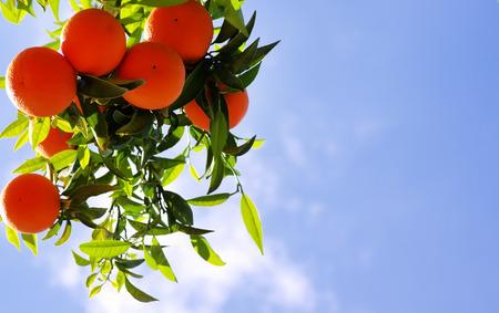 Sinaasappels hangende boom in hemelachtergrond