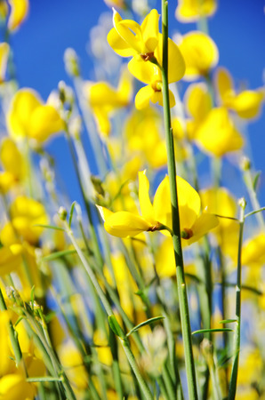 faboideae: Yellow flowers of wild genista. Stock Photo