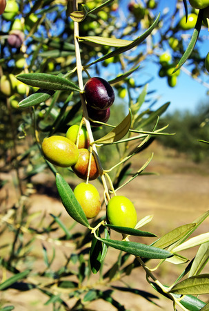 olive farm: ripe olives on branch Stock Photo