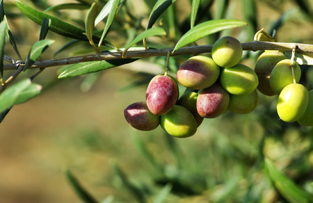 olive farm: olives on branch