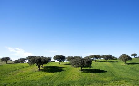 oak trees in field of alentejo,Portugal photo