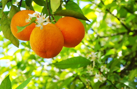 Ripe oranges and flower on a tree close-up