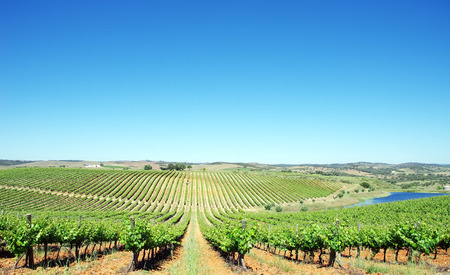 viñedo: Viñedo en la región de Alentejo, Portugal. Foto de archivo