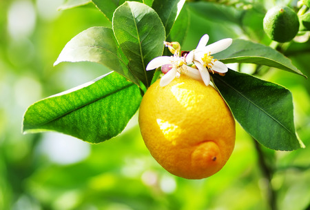 Ripe lemon and flower hanging on tree.