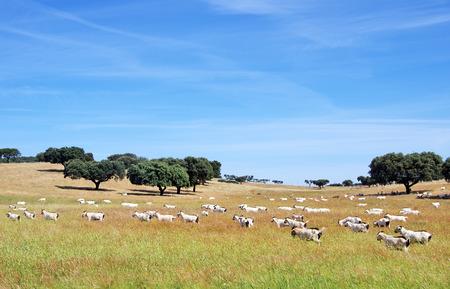 cabra: cabras que pastan en el campo en Portugal Foto de archivo