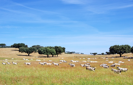 goats grazing in the field at Portugal Imagens - 40338464