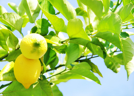 lemon tree: Lemons on lemon tree.