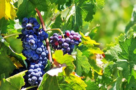 vi�edo: uvas en la vi�a Foto de archivo
