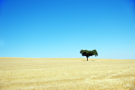 solitary tree: Oak tree, Alentejo , Portugal
