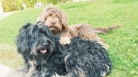 brown and black dog face: Black and Brown Portuguese sheepdogs Stock Photo