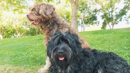sheepdogs: Black and Brown Portuguese sheepdogs Stock Photo