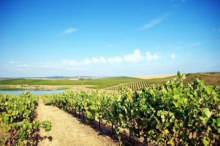 farm field: Vineyard at south of Portugal.