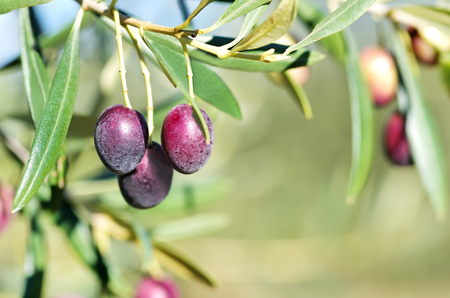 portugal agriculture: ripe olives tree on branch
