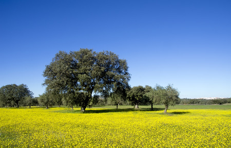 flower fields: Field covered with blooming wild yellow daisy flowers and trees