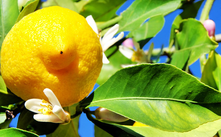 yellow flower tree: fresh yellow lemon fruits with blossoms on the tree