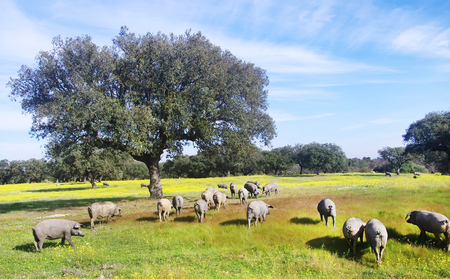 pastureland: pigs grazing in field at south of Portugal Stock Photo