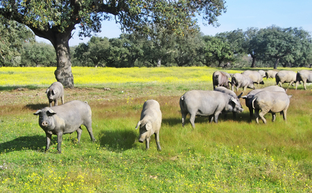 pastures: pigs grazing in field at south of Portugal Stock Photo