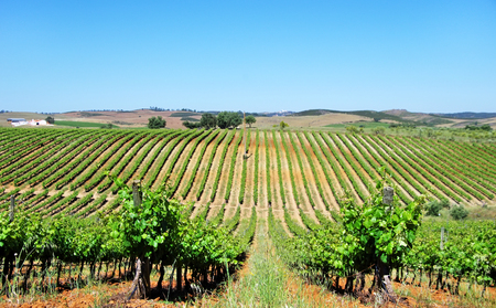 portugal: Vineyard at Alentejo, Portugal. Stock Photo