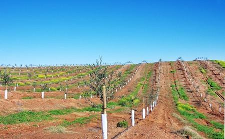 tree farming: Young olive trees. Newly planted trees at  south of Portugal