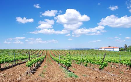 terroir: vineyard at south of Portugal, Alentejo region