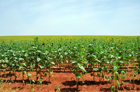 extent: sunflowers field at south of Portugal