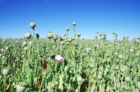 Opium poppies on field