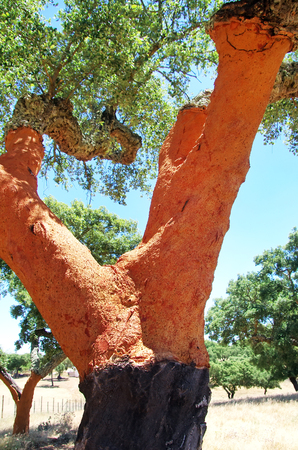 law of portugal: trunk of oak tree at Portugal Stock Photo