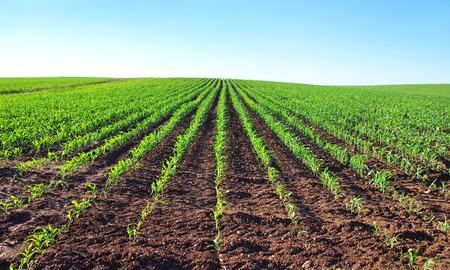 champ de mais: les plants de maïs jeunes dans un champ Banque d'images