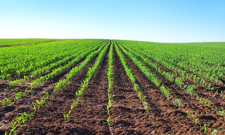 row: young corn plants in a field Stock Photo
