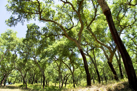 field stripped: Cork trees  in south of Portugal, Alentejo