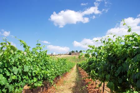 alentejo: Vineyard at Portugal,Estremoz, Alentejo region
