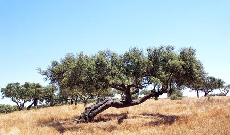 big cork: Old oak tree in mediterranean forest