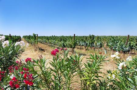 alentejo region flores en el viedo portugus regin de alentejo