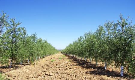 tree plantation: Olive tree plantation at south of Portugal Stock Photo