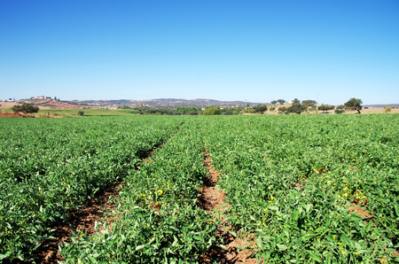 cultivated field with tomato plants at Portugal