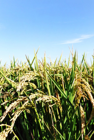portugal agriculture: rice plant growing in terrace field Stock Photo