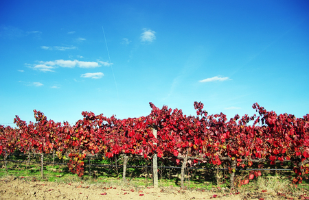 lambrusco: vineyard in autumn, south of Portugal Stock Photo