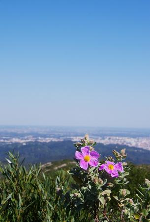 Rock Rose flower (or Cistus flower) in Arrabida natural park Stock Photo