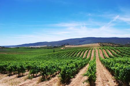 terroir: vineyard plantation in the Alentejo region, Portugal