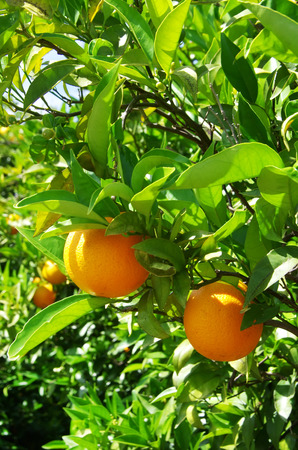 tree farming: ripe oranges in orange tree