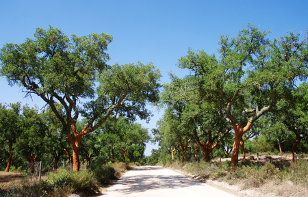 alentejo: arid road in mediterranean forest