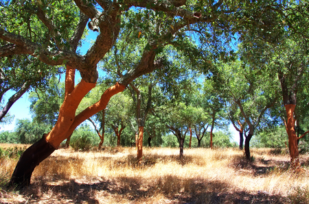 cork oak forest at south of Portugal