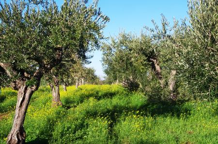 Olives, champs de fleurs jaunes Banque d'images - 93314630