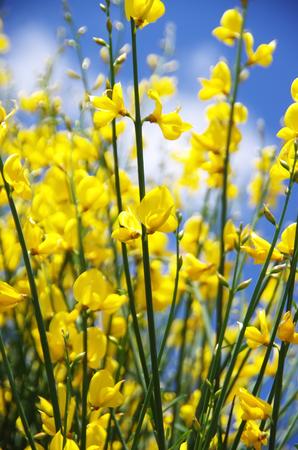 yellow flowers of wlld genista