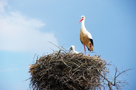 White stork and baby on a nest Stock Photo